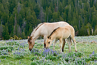 Wild Horse or feral horse (Equus ferus caballus) colt and young mare grazing among wildflowers.  Western U.S., summer.
