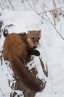Baummarder, im Winter bei Schnee, Baum-Marder, Edelmarder, Edel-Marder, Marder, Martes martes, European pine marten