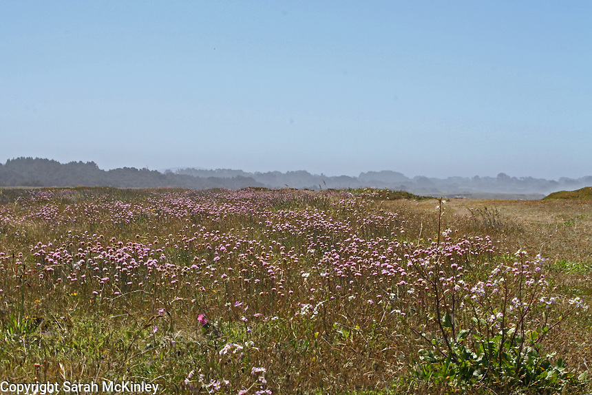 Light purple blossoms of seathrift fill a meadow on the Pacific coast bluffs at MacKerricher State Park near Fort Bragg in Mendocino county in Northern California.