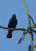 Amsel, singendes Männchen auf exponierter Singwarte, Schwarzdrossel, Schwarz-Drossel, Drossel, Turdus merula, blackbird, Merle noir