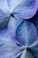 Hydrangea flower macro.