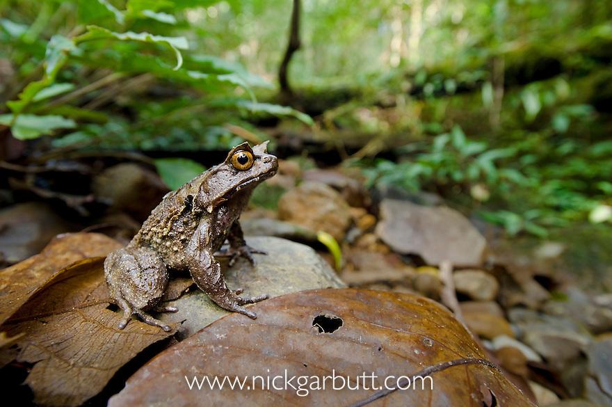 Montane Horned Frog (Megophrys kobayashii) in the leaf litter along a stream. Slopes of Mt Kinabalu (around 1400m asl), Sabah, Borneo,