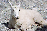 Mountain Goat Kid (Oreamnos americanus), aka Rocky Mountain Goat, resting at Mineral Lick, Kootenay National Park, BC, British Columbia, Canada