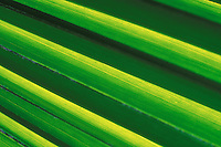 Closeup of fan palm leaf