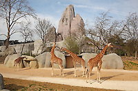 Girafes dans leur plateau exterieur définitif, Grand Rocher en arrire-plan, zone Sahel-Soudan, new Parc Zoologique de Paris, or Zoo de Vincennes, (Zoological Gardens of Paris, also known as Vincennes Zoo), Museum National d'Histoire Naturelle (National Museum of Natural History), 12th arrondissement, Paris, France. Picture by Manuel Cohen