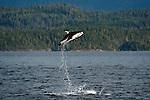 Pacific White-sided Dolphins, Lagenorhynchus obliquidens, jump near Johnstone Strait, British Columbia, Canada.