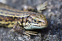 Common Lizard (Lacerta vivipara) close up of head, basking on rock. Peak District National Park, Derbyshire, UK. August.