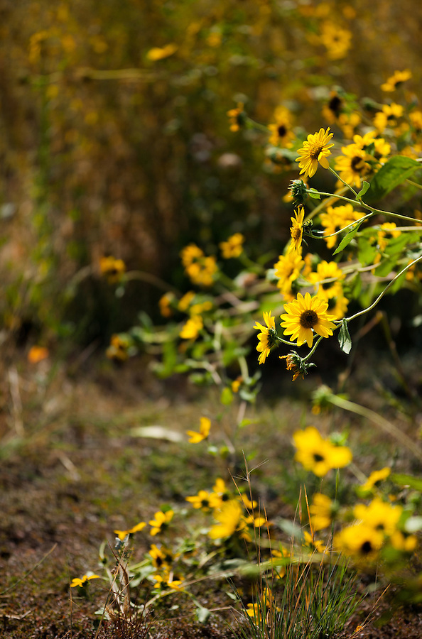 Balsamroot flowers glow yellow in the bright sun against a darker background.