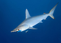 Scalloped Hammerhead (Sphyrna lewini) swims in the open sea, Red Sea, Egypt, Africa