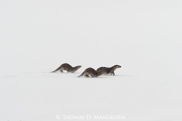 Three northern river otters run across the ice and snow of the frozen Snake River in Grand Teton National Park, Wyoming.