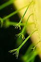 Green Hydra {Hydra viridissima} found in a garden pond. Derbyshire, UK. September.