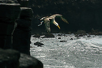 Waved albatrosses can fly for hours using their massive wingspan to glide over the ocean currents. But their huge wings and slender bodies make if difficult taking off. To make it easier they walk to the rocky cliffs of Española next to the cost...and jump into the wind. .