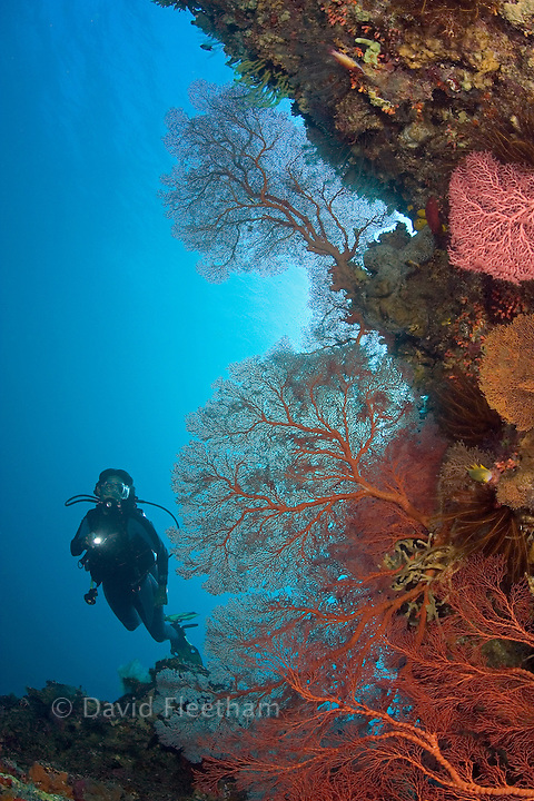 Gorgonian coral dominates this reef scene with a diver (MR).  Indonesia.