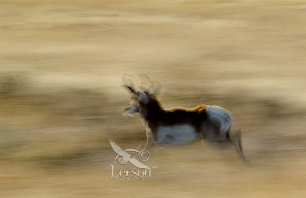 Pronghorn (Antilocapra americana) antelope buck running.  Western U.S.