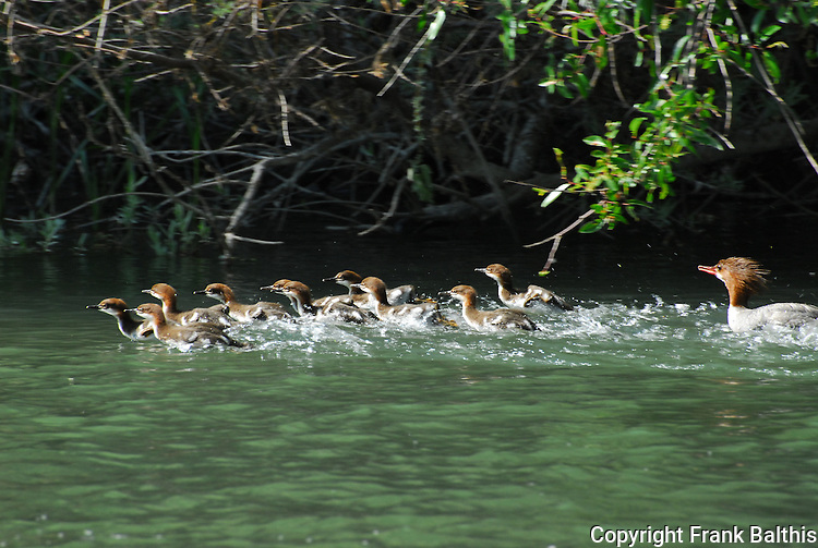 Merganser female with chicks in Russian River