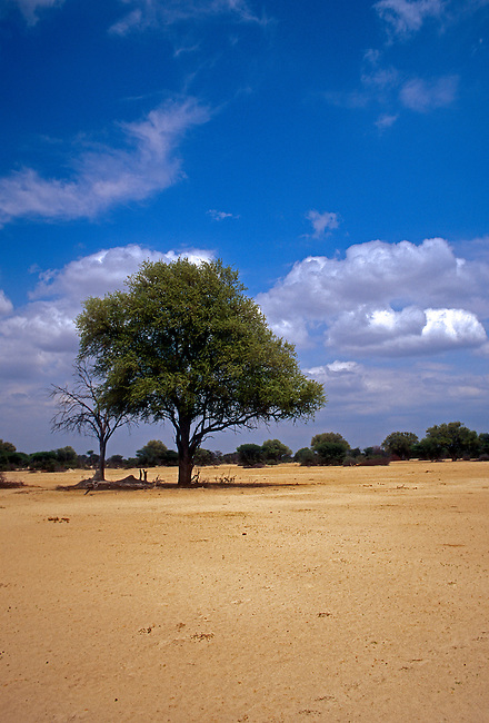Leadwood Tree, Kalahari Sandveld, Hwange National Park, Matabeleland North Province, Zimbabwe, Africa