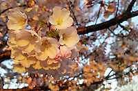 Stock photo: Bunch of cherry blossom flowers shinning in the soft evening light in Spring, Georgia USA.