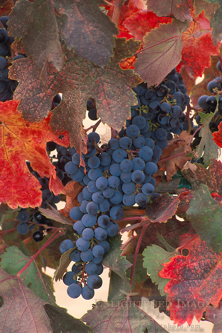 Red wine grapes and leaves on vine in fall, Napa Valley Wine Country, California