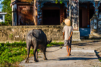 A farmer brings his water buffalo home from the fields in a village in the countryside outside Hue, Central Vietnam.