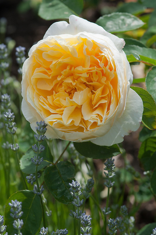 Rosa Charlotte ('Auspoly'), late June. A soft yellow English Musk Hybrid shrub rose. From David Austin, 1993.