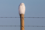 Snowy owl (Nyctea scandiaca) perches on fencepost in winter sunlight, Canada