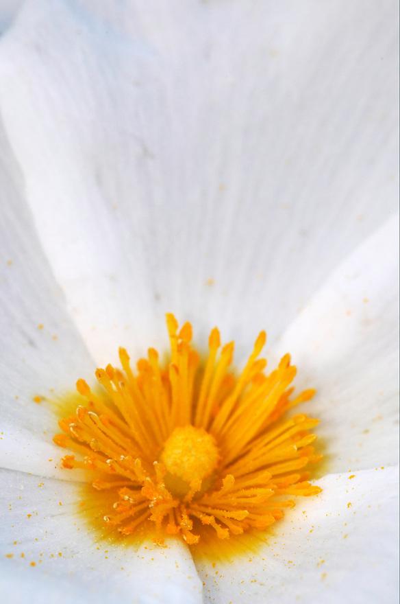 Sage-leaved cistus, (Cistus salvifloria), Karpaz peninsula, Cyprus