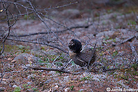 Ruffed grouse in display on the ground.