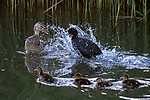 Plucky coot attacks duck
