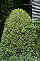 Clipped variegated box (Buxus sempervirens 'Elegantissima'), Old Garden, Vann House, Surrey, mid June.