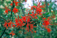 Embothrium coccineum in red bloom, Chilean Fire bush