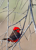 A small, bright red-feathered, Vermillion Flycatcher perched on one of the branches of a leafless-bush against a pastel pink and green background.