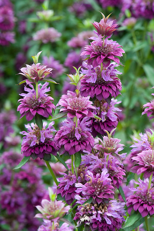 Monarda hybrida 'Bergamo', mid August. Native to North America, it is sometimes known as bee balm or bergamot.