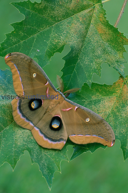 Polyphemus Moth (Antheraea polyphemus), Saturniidae, Florida.