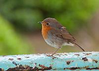 Robin at Portmeirion, Porthmadog, Gwynedd.  Lleyn Peninsula.