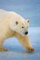 Polar bear, Barter Island, Arctic National Wildlife Refuge, Alaska