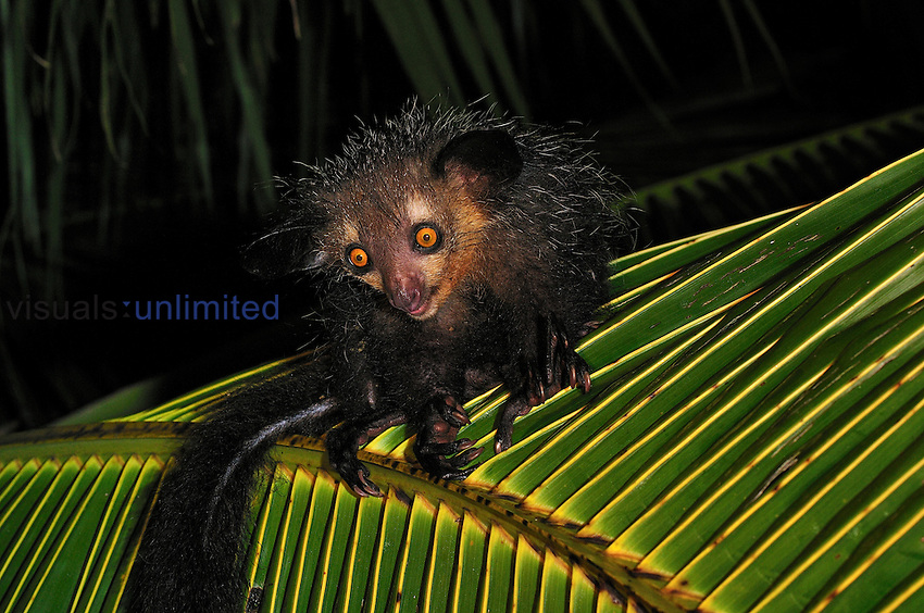 Aye-aye (Daubentonia madagascariensis), Mananara, Eastern Madagascar