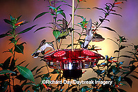 01162-09214 Ruby-throated Hummingbirds (Archilochus colubris) on Droll Yankees Little Flyer-2 Hummingbird feeder Shelby Co.  IL