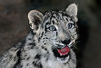654409025 portrait of a three month old snow leopard panthera uncia - individual is a wildlife rescue - species is native to the high steppes of central asia