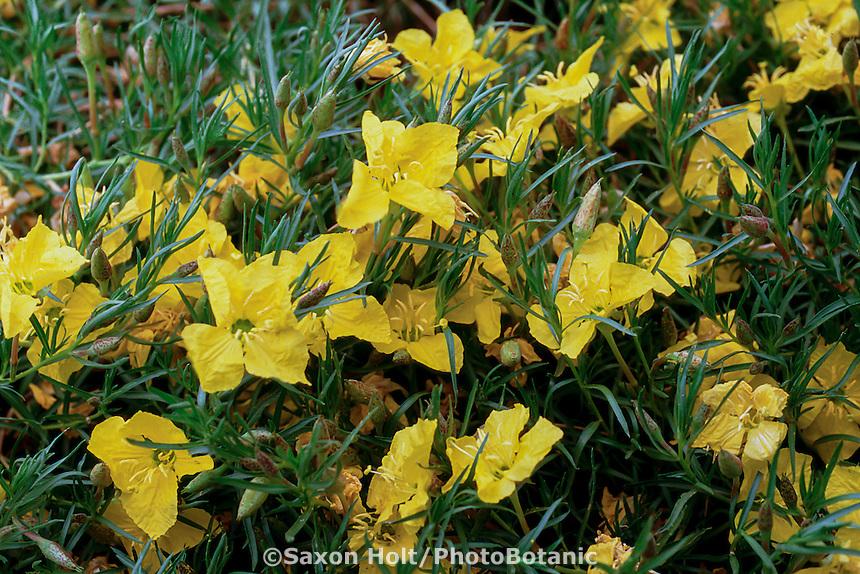 Calylophus hartwegii lavandulifolius (Hartweg's Sundrops)