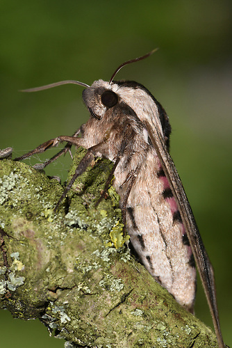 Privet Hawk-moth - Sphinx ligustri