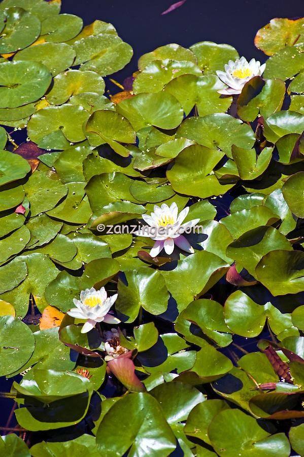 Japanese  Lotus Garden, Tillman Water Reclamation Plant, Woodley Park, Lake Balboa, Van Nuys, CA.