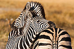 Botswana, Okavango Delta, Moremi Game Reserve, Burchell's zebras (Equus burchellii) mother and foal cuddling late afternoon