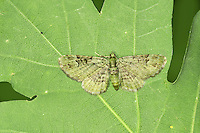 Green Pug Pasiphila rectangulata Wingspan 15-20mm. A strikingly patterned moth with rounded wings that are spread flat at rest. Adult has wings that are overall green, marked with concentric dark bands and lines. Flies June-July. Larva feeds in the flowers of apples and pears. Widespread and common.