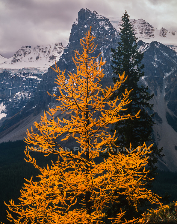 Autumn Larch Tree above Consolation Valley,Banff National Park,Canada AB