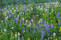 Wildflowers--lupine, arnica, paintbrush, valerian and anemone or western pasqueflower--in subalpine meadow with Subalpine Fir (Abies lasiocarpa), Mount Rainier National Park, WA.  Summer.