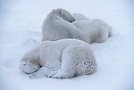 Snow-dusted polar bears sleep in the snow in Churchill, Manitoba, Canada.