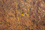 Evening grosbeak - male