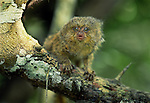 The smallest of all South American primates is the Pygmy Marmoset, which weighs only 3 ounces.