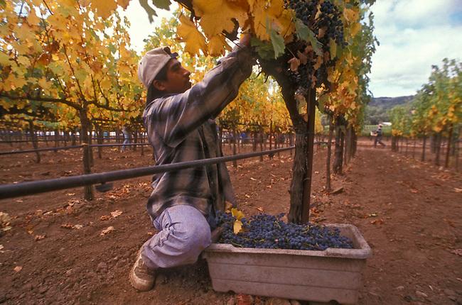 Worker picks cabernet sauvignon grapes near Napa, Ca