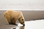 A coastal brown bear takes a drink of salt water from Cook Inlet.  This bear is on the tidal flats searching for razor clams, Lake Clark National Park, Alaska, USA, June 24, 2008.  Photo by Gus Curtis.
